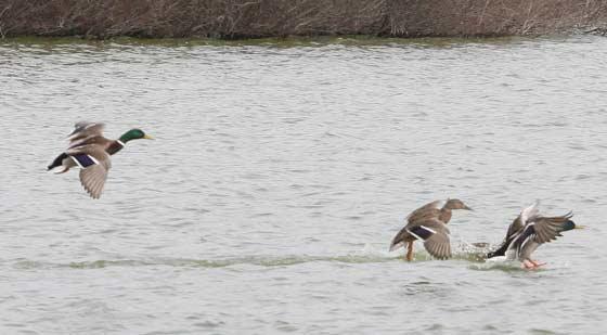 Patos en una laguna de los humedales.  Foto: Belen Vargas