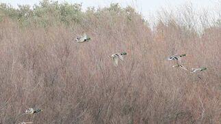 Varios patos sobrevuelan la zona de este ecosistema húmedo.  Foto: Belen Vargas