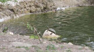 Una tortuga descansa fuera de una de las lagunas del municipio sevillano de Lantejuela.  Foto: Belen Vargas