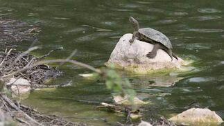 Una tortuga en el ecosistema húmedo de Lantejuela.  Foto: Belen Vargas