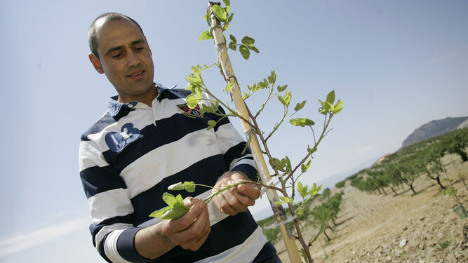Miguel Ángel Ortiz cuenta con cuatro hectáreas de pistacho en el paraje albojense de El Saliente Alto, y que cultivó allá por mayo de 2015.