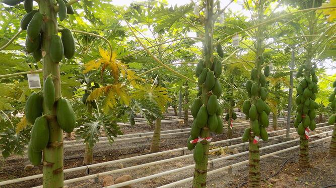 El equipo de investigación de la Estación Experimental Cajamar comenzó sus ensayos con papaya en invernadero en julio de 2014.