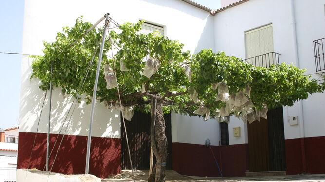 Uva de mesa de la variedad Rosada de Rágol, que le dio nombre a este municipio del Medio Andarax.