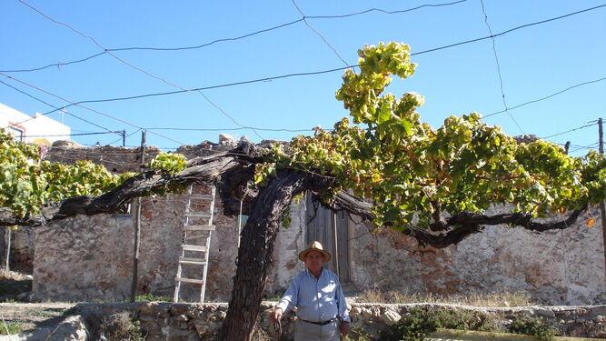 Vieja parra de Ohanes, de casi 100 años. Uno de esos ejemplares madre que Antonio Rubio ha encontrado en la provincia de Almería.