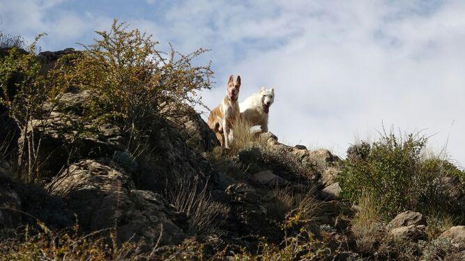Uno de los rehaleros junto a su remolque de perros.
