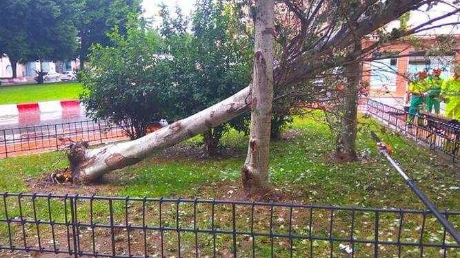 Uno de los árboles caídos en Almería durante la mañana de ayer.