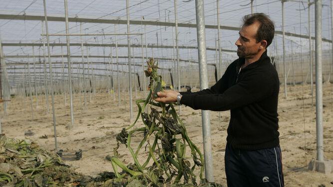 Hay brotes de trips por las plantaciones de cultivos tempranos.