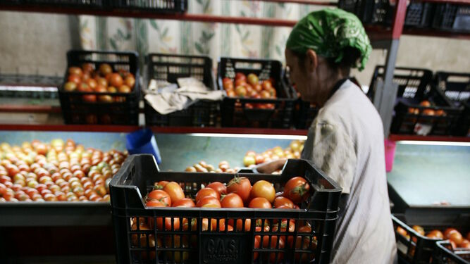 El tomate, junto al pimiento, uno de los productos líderes de Almería.