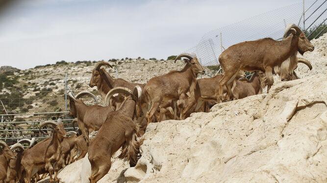 Los arruí es el único caprino al que se le prestan cuidados en la Finca Experimental La Hoya, es también el animal de más tamaño del recinto.