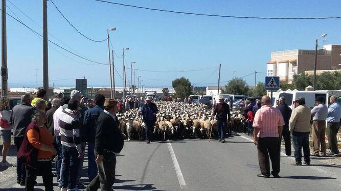 Expectación en Tarambana ante la llegada de un rebaño de ovejas