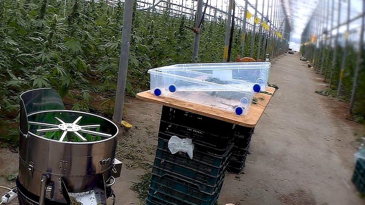 Maquinaria empleada para la extracción de los cogollos del cannabis sativa