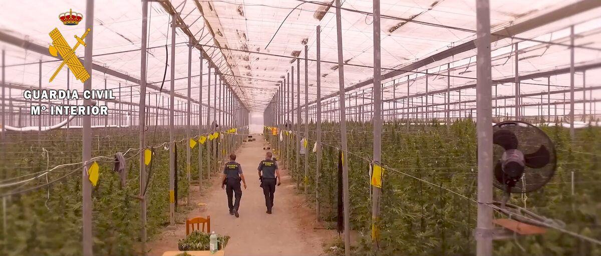 El Seprona realiza analíticas en todas las plantaciones autorizadas de cáñamo de la provincia