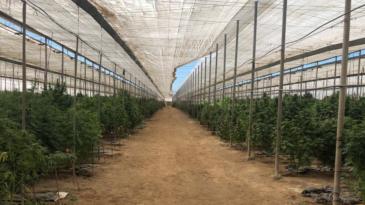 Una plantación de cáñamo ubicada en el levante almeriense